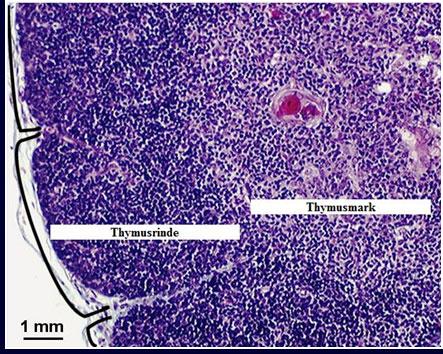 Arztpraxis Löwenzentrum » Thymus